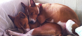 Basenjis love snuggling