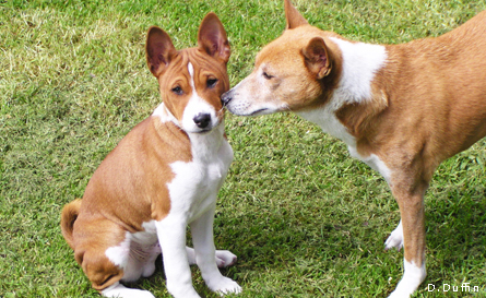 Puppy with older Basenji